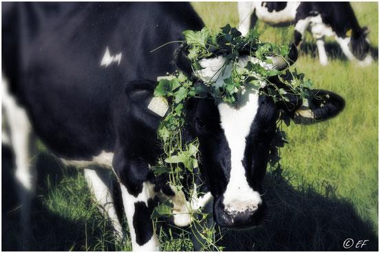 Eine glückliche Kuh auf der Weide