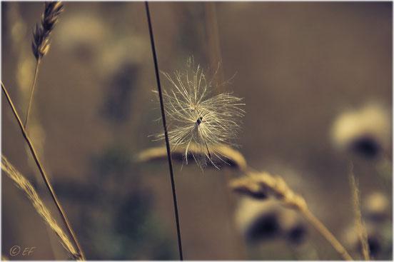Zum Abflug bereit (die Samen einer Ackerdistel)