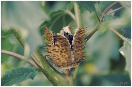 Stachelige & giftige Schönheit: Der Stechapfel