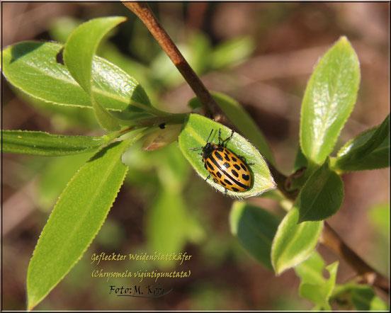 Chrysomela vigintipunctata