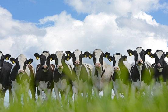 Rinder auf der Weide in Friesland