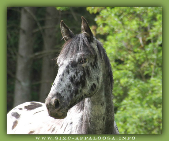 Appaloosa Old-line | Appaloosa Foundation | Appaloosa Sport Horse | By SIX C Appaloosa