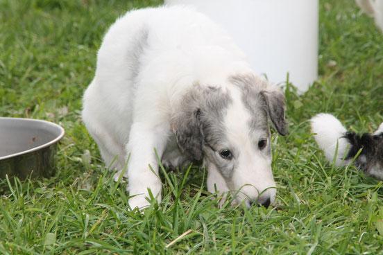 Von Alshamina Barsoi & Deerhound Zucht Deutschland, Nähe Luxemburg, Schweiz, Niederlande! Russische und Schottische Windhunde vom Züchter!