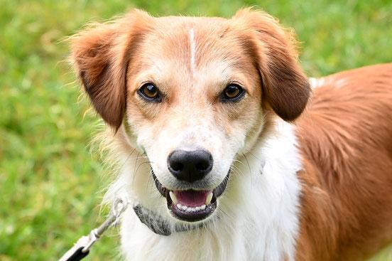 ProKromfohrländer Sichtung Projekthund Kromfohrländer