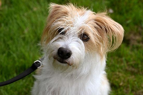Kromfohrländer ProKromfohrländer Projekthund