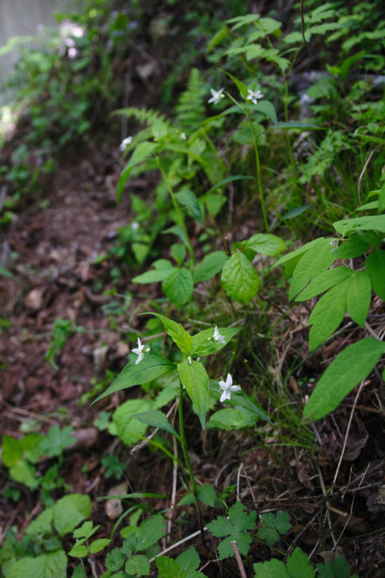 タデスミレは全国でただ1箇所、この近辺だけに咲く非常に貴重なスミレです