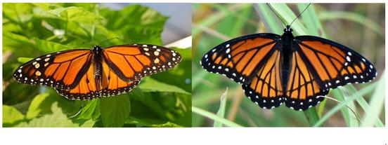 Papillon monarque d'Amérique du nord et le Vice-roi ; Source : Wikipédia