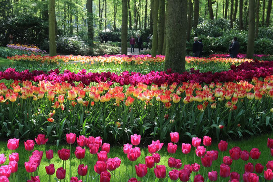 buntes Tulpenbeet unter Bäumen im Keukenhof, im Hintergrund grüne Büsche