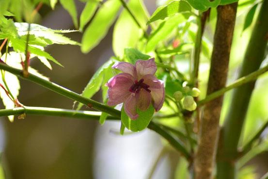 なにアケビでしょうか。淡いピンク色の花が珍しい。