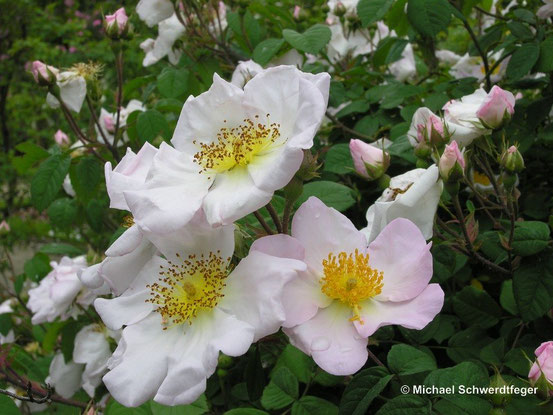 eine uralte Gallica-Hybride: Rosa x richardii