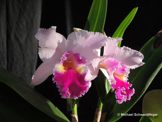 Für diese Orchideen wurde getötet und gestorben: eine Cattleya