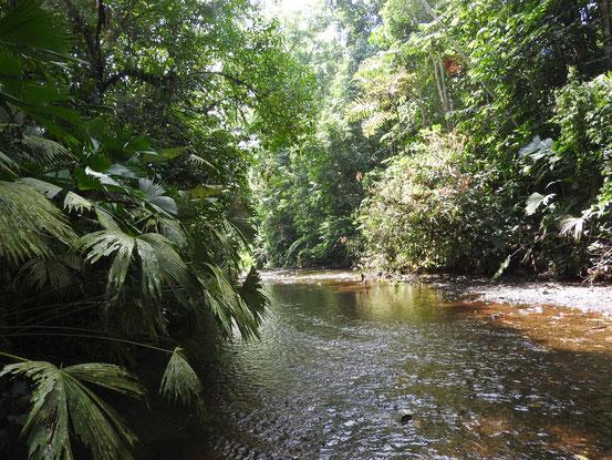 Der Tropische Regenwald - Heimat von Genipa americana.