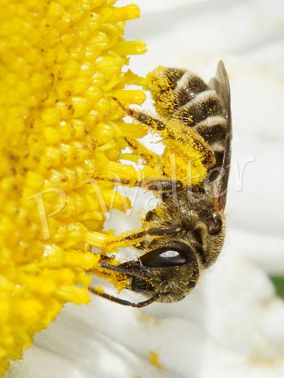 Bild: ein Furchenbienen-Weibchen, Halictus spec., an der Wiesen-Margerite