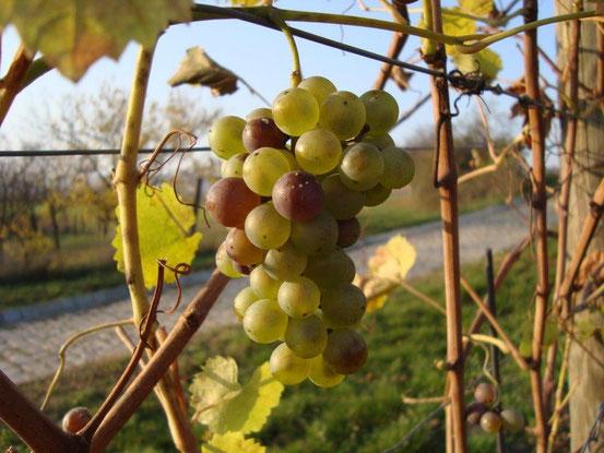 Trauben für die Spätlese an der Luckenholzgasse Wien-Stammersdorf