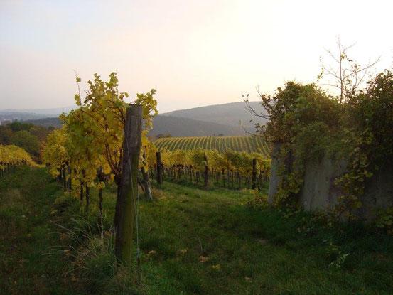 Weinrieden am Maurer Berg, im Hintergrund die Föhrenberge
