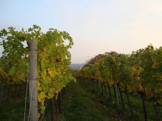 Weinrieden am Maurer Berg mit Blick gegen Süden