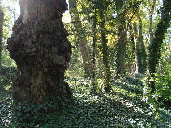 Knorrige Bäume und ein Efeuteppich im Sternwartepark. 'Nicht nur lebende Pflanzen haben hier ihre Daseinsberechtigung. Baumleichen sind das Spezifikum des Sternwarteparks.' (Der Standard)