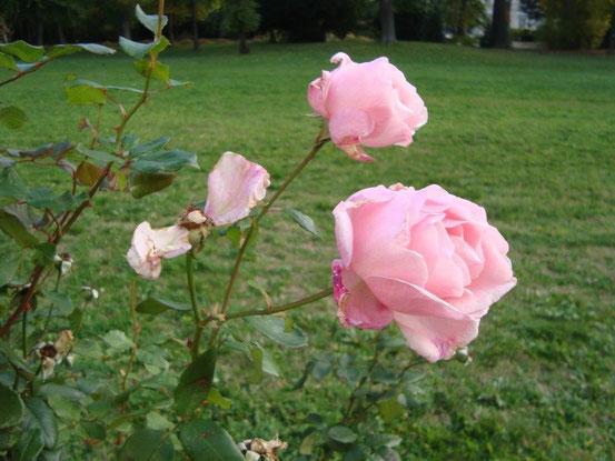 Die letzten Rosen im Liechtensteinpark