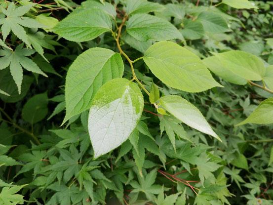 この先が白い葉っぱがなんだろう?と思ってしらべたらマタタビでした。