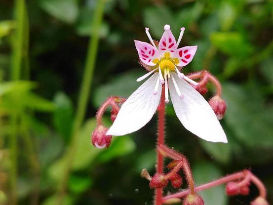 ユキノシタ 1.5cmくらいのお花です。