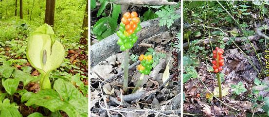 Bild links: Aronstab Blüte   Bild Mitte: unreifer Fruchtstand Bild rechts: reife Beeren