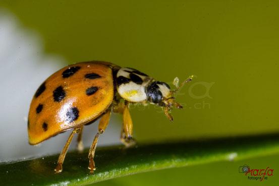 Marienkäfer Käfer