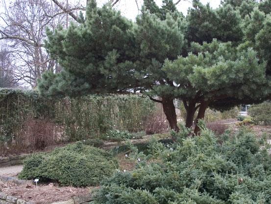 Nadelgehölze verleihen einem Garten einen ganz besonderen Charakter