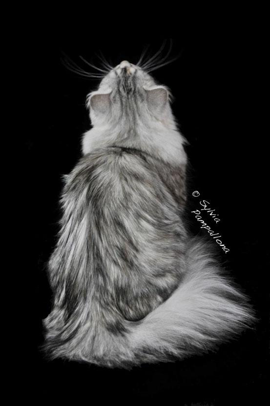gatto siberiano ipoallergenico allergia