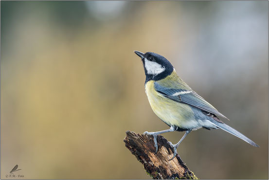 Kohlmeise (Parus major)  01.2018