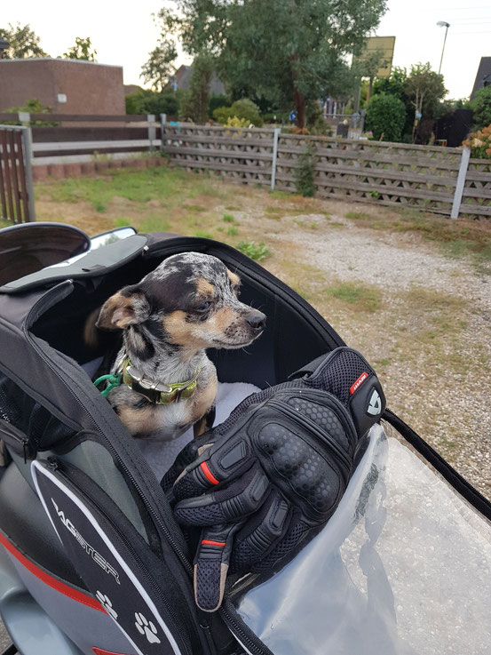 Sirius mein schönster Chihuahua
