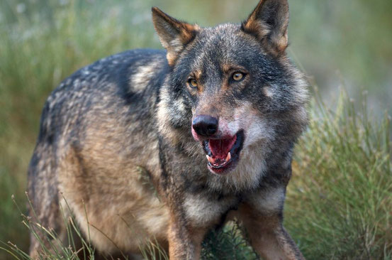 Canis lupus signatus, männlich c) Wikipedia - Arturo de  Frias Marques