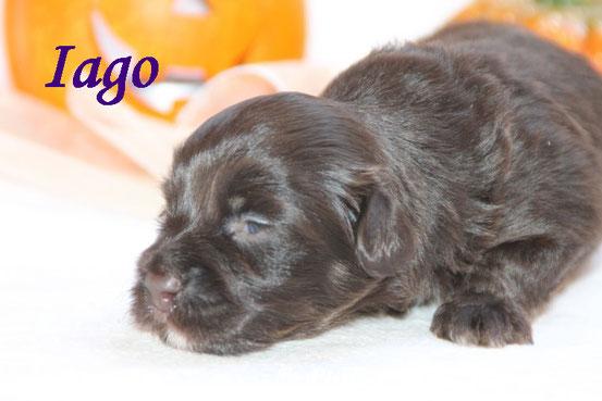 Chocolate-brindle Havaneser-Welpen...., DER  HAVANESER-ein Hund für alle Fälle..., Havaneser Welpen abzugeben!