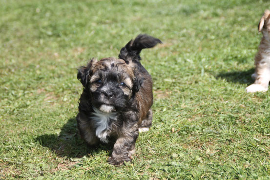 Tricolorfarbene Havaneser, tricolor colored havaneses, HavaneserWelpen, havanese puppies/Germany