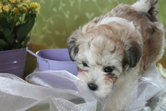 Havanese puppies, Havaneser-Liebhaber-Zucht in Deutschland