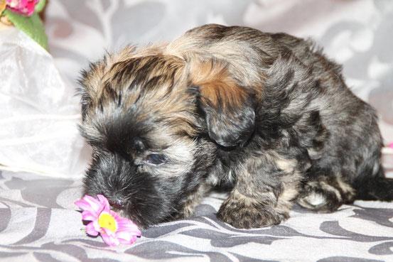 Havaneser-Welpe aus unserem D-Wurf, Hündin, 7  Wochen alt