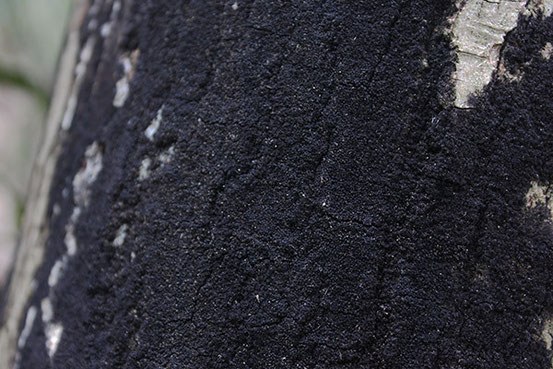 カタツブタケ属の一種