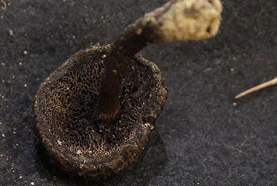 オニイグチ属の一種