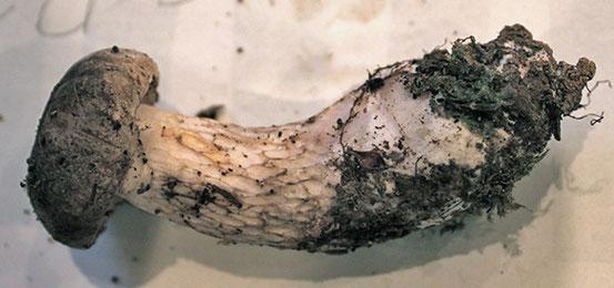 ホオベニシロアシイグチ