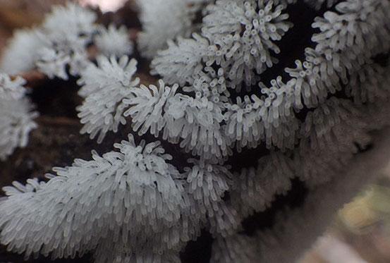 ツノホコリ(亜種ツノホコリ)