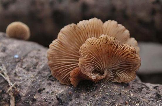 チャヒラタケ属の一種