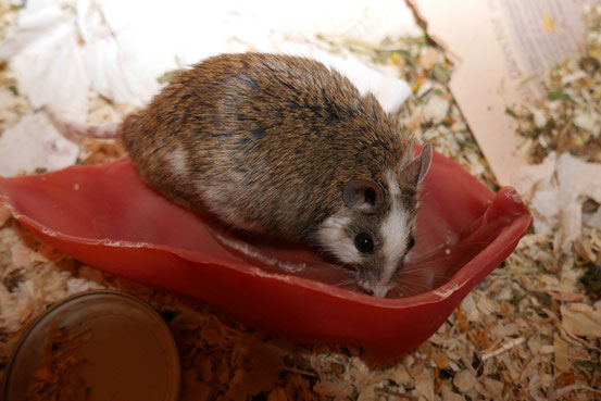 """Knifflig: Fällt ein veganes Schweineohr, das sich zwar wie Plastik anfühlt, aber aus Getreide besteht, nun in die Kategorie """"natürlich"""" oder """"künstlich""""? Tja, das sind die Fragen, die MäusehalterInnen nachts wachliegen lassen."""