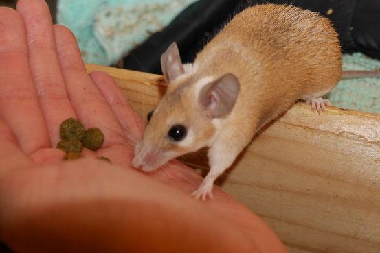 """Sehr schlanker Hamsteräffchen-Bock beim """"Naschen"""" seiner Extrudate. Wie auch bei manch anderen Arten neigt der dominante Bock eher zum Untergewicht und (vorallem) umgekehrt."""