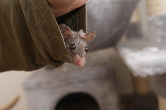 Die dunkle Nilstachelmaus -  menschenscheues, exotisches Wildtier für's Terrarium, oder etwa doch rattenzahmes, vorwitziges Kuscheltier? Sie wird sich wohl am ehesten wie dasjenige verhalten, als welches sie betrachtet wird.