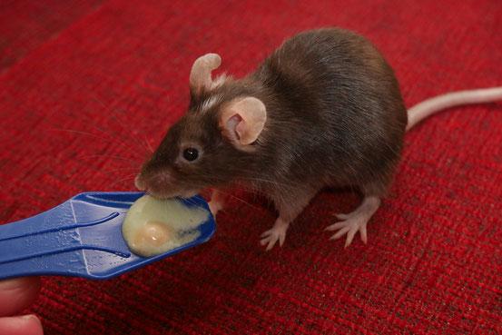 """Auch Milchproteine sind für Mäuse besonders wertvoll. Sie finden sich daher nicht nur in Eiscreme, sondern bisweilen auch in Mäusefutter unter Bezeichnungen wie """"Käse"""" oder """"Milch- und Molkereierzeugnisse""""."""