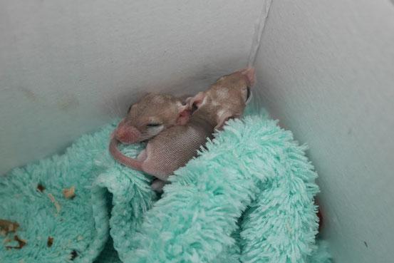 Hamsteräffchen-Zwillinge kurz nach der Geburt: sie kommen vollständig entwickelt und mit offenen Augen zur Welt! Das Böckchen im Vordergrund sprintete gar schon 24h später im großen Laufrad. Auch feste Nahrung probieren sie schon an ihrem Geburtstag.