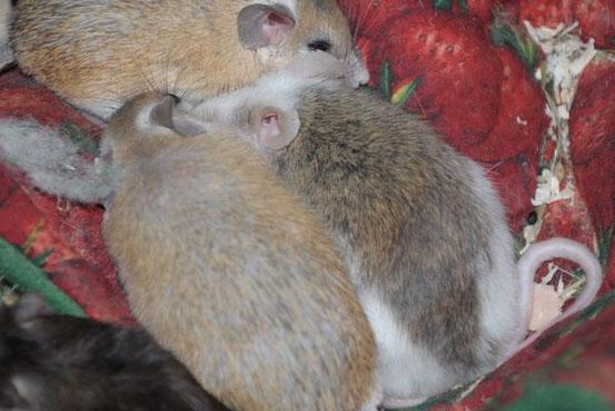 """Sinai Stachelmäuse Asali und Shaitani kümmern sich rührend um """"ihren"""" VZM-Senior."""