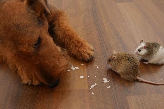 Backoblaten bestehen komplett aus Vielfachzucker (Stärke) und machen zu Übergewicht neigende Mäusearten nicht gesund, sondern rund.