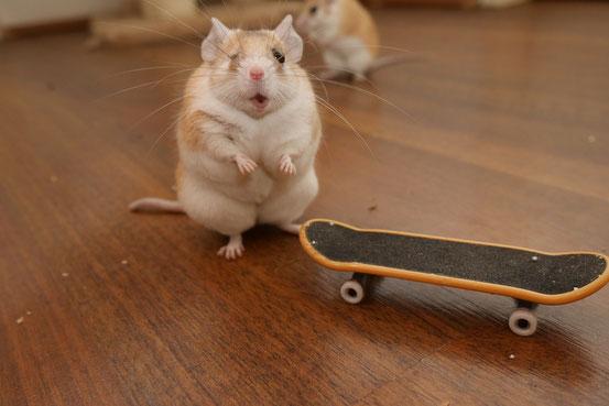Kastraten haben es unter Hamsteräffchen aus mehreren Gründen besonders schwer, ihr Gewicht zu halten. Schon allein deshalb sind Kastrationen wenn nur irgend möglich zu vermeiden! Auch bei diesem lieben Tier bereue ich meine Fehlentscheidung sehr.