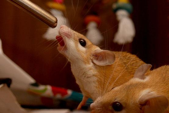 Wüstenbewohnern wie Hamsteräffchen ständig Leitungswasser anzubieten ist nicht nur völlig unnatürlich bis grob vermenschlichend, sondern langfristig unter Umständen gesundheitsschädlich.