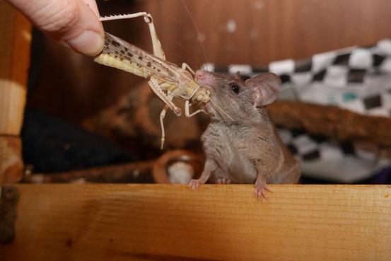 Für Nilstachelmäuse das wichtigste an lebenden Insekten: der Spaßfaktor.